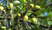 Экстракт тропического растения поможет в борьбе с коронавирусом